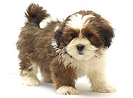 拉薩犬幼崽聽話乖巧圖片
