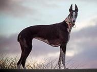 身材完美的純種靈緹犬圖片