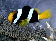 海底戲耍的小丑魚圖片