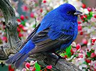 置身花叢的藍色知更鳥圖片