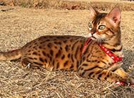 家养豹猫警惕表情图片