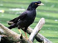 农林益鸟野生八哥鸟图片