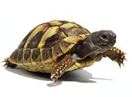 可爱小乌龟爬行图片特写
