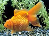 小紅金魚自由自在游玩圖片