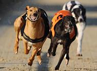 奔跑中的兇猛靈緹犬圖片