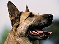 土狼犬高清臉部特寫圖片
