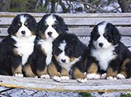 小伯恩山犬頑皮可愛的圖片