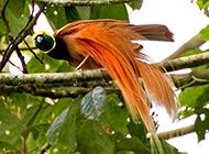 綠寶石極樂鳥圖片萌萌噠