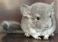 毛发柔顺的灰栗鼠图片