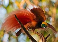 树枝上红色天堂鸟的图片