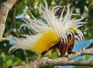 枝頭上的白色天堂極樂鳥圖片