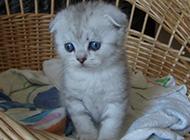 银渐层折耳猫幼猫发呆图片