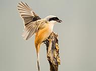 小巧机灵的长尾灰伯劳鸟图片