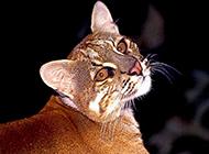 眼神警惕戒備的金貓圖片