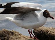 一群南飞迁徙的海鸥图片摄影