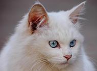 蓝眼白猫头部特写图片