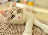 宠物布偶猫卖萌图片大全