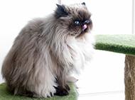 丑萌搞怪的喜马拉雅种猫图片