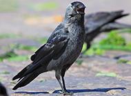 野外抓拍黑乌鸦图片