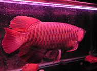最貴的風水魚紅龍魚圖片