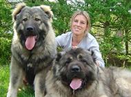 高加索犬:探秘世界上最大的狗