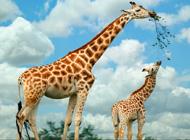 世界上现存最高的陆生动物-长颈鹿