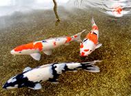 紅白錦鯉水池暢游嬉戲圖片