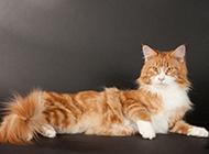 缅因猫坐姿慵懒优雅图片