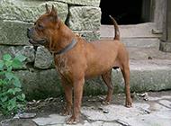 棕色的小川东猎犬图片