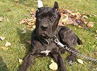 意大利卡斯羅犬幼犬草地上曬太陽