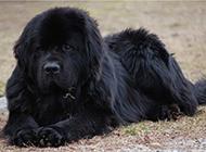 巨型黑色紐芬蘭犬草地休息圖片分享