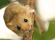 棲息樹枝的小睡鼠圖片