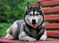 阿拉斯加雪橇犬林間歡樂玩耍精美圖片