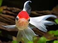 悠然戲水的金魚特寫攝影組圖