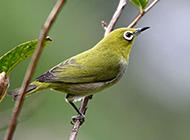 最好的观赏鸟类绣眼鸟图片