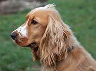 純種英國可卡犬毛發柔順圖片