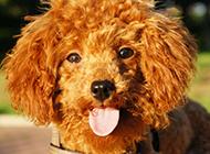 讨人喜欢的棕色泰迪犬图片
