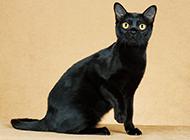 孟買貓機靈可愛圖片