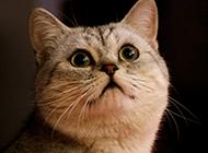 灵巧呆萌的埃及猫图片