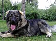 成年高加索犬草地上休息圖片