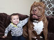 憨厚的美国纯种比特犬图片