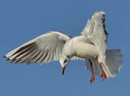 红嘴海鸥天空自由翱翔图片