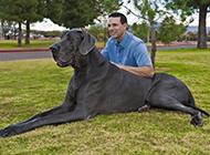 英国巨型大丹犬图片模样乖巧听话
