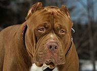 世界第一猛犬比特犬圖片大全