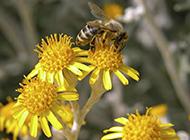 瞬间捕捉蜜蜂采食花粉高清壁纸