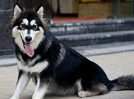 纯种成年阿拉斯加犬图片