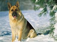 雪地上的纯种德国牧羊犬图片