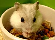 家庭宠物可爱小仓鼠图片
