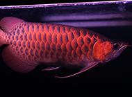 精品紅龍魚圖片色彩靚麗