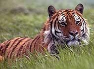 森林特写:孟加拉虎